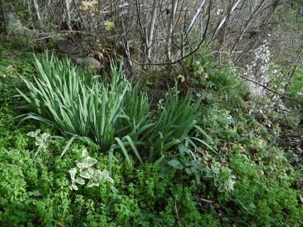 Iris Pervanche panachée